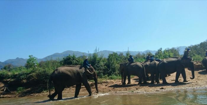 Elephants walk alongside the Nam Khan river in Laos