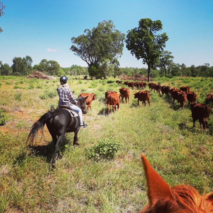Herding cattle on horseback on a farm in the Australian outback