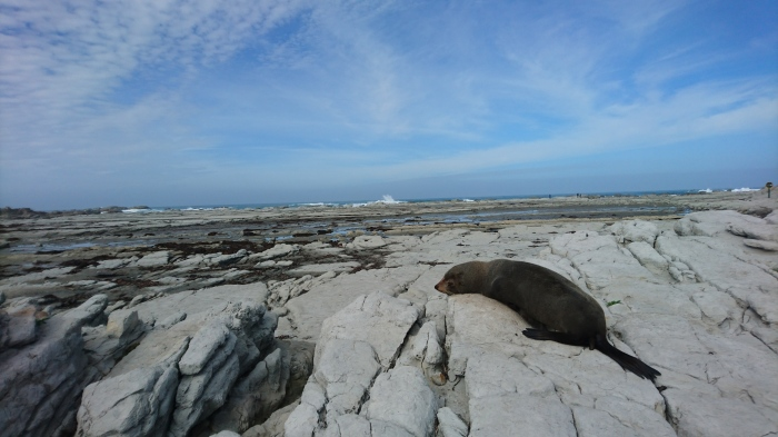 Seal asleep on some rocks in Kaikoura, New Zealand