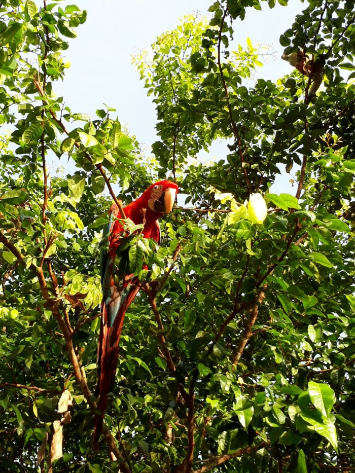 A parrot in the trees outside the Amazon jungle lodge