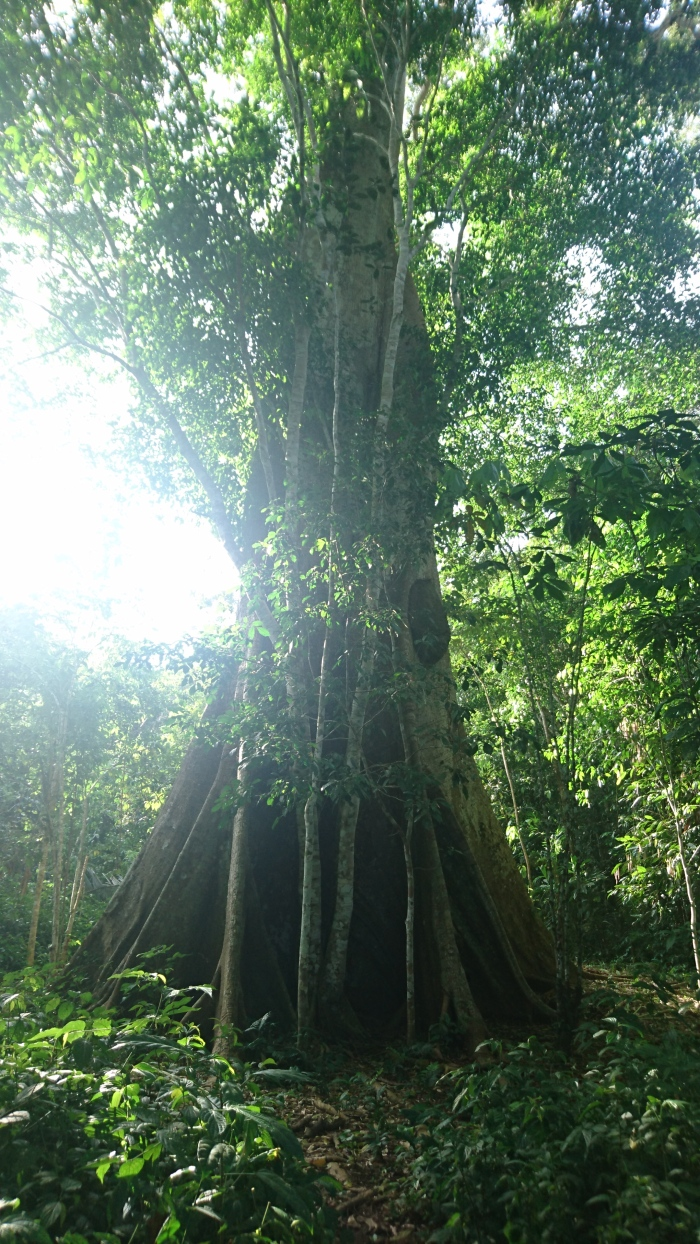 Huge tree in the Amazon jungle