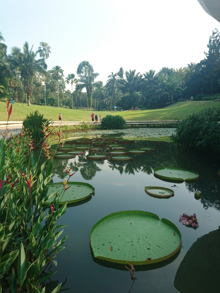 Giant lily pads in Singapore Botanic Gardens