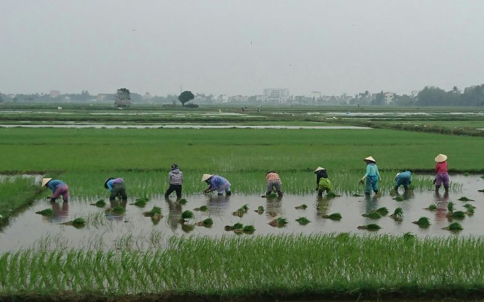 Workers in the rice paddies outside Hoi An, Vietnam