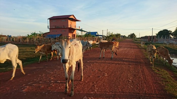 Cows crossing the road in Siem Reap, Cambodia